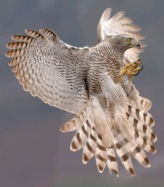 in my humble opinion the Goshawk, is the most amazing bird of prey, 2nd on my list is the Harpy eagle....check em out n google them