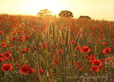 Poppy Field Sunset - Poppy Field Sunset