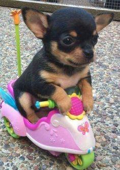 Чихуахуа Мишель в детсве. Миша на скутаре. Мише 1,5 месеца