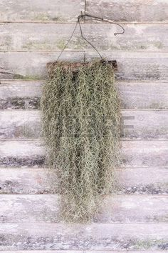 Easy To Grow Houseplants Clean the Air Hanging Moss Stock Photos and Pictures. Indoor Garden, Garden Plants, Indoor Plants, House Plants, Outdoor Gardens, Air Plants Care, Plant Care, Succulent Terrarium, Terrariums