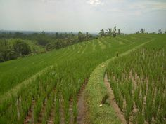 Rice paddy field at Munggu, north of Bali.