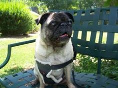 Lucy is an adoptable Pug Dog in New York, NY. Lucy is a sweet 9 year old, whose owners surrendered her because they could no longer care for her. Lucy is a perfect companion pet -she likes to follow y...