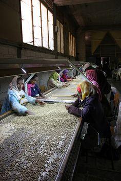 Ethiopia coffee bean sorting