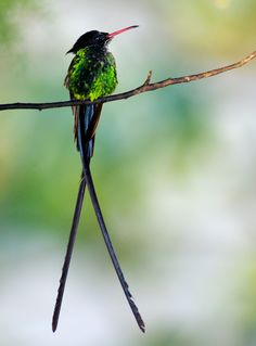 Red-billed streamertail, Blue Mountains, Jamaica.