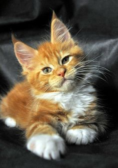 Cute Cats And Kittens, Baby Cats, Kittens Cutest, Kittens Meowing, Ragdoll Kittens, Bengal Cats, Pretty Cats, Beautiful Cats, Animals Beautiful