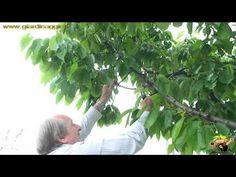 coltivare il ciliegio