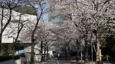 "Japanese Cherry Blossom. Taken at ""Sakurazaka"" in Minato-ku, Tokyo."