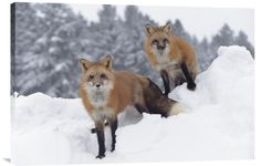 buy positive energy wall art photo Red Fox Pair in Snow Fall at www.explosionluck.com