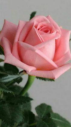 beautiful flowers and plants Beautiful Flowers Wallpapers, Beautiful Rose Flowers, Amazing Flowers, My Flower, Pretty Flowers, Flower Art, Pink Roses, Pink Flowers, Cut Flowers