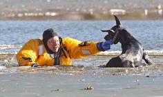 Description of . St. Louis firefighter Stan Baynes keeps Diablo above water while he is rescued from a lake at O'Fallon Park in St. Louis, M...