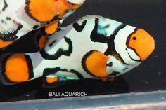 Bali Aquarich Nebula Clownfish