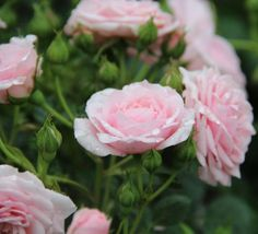 Rosa 'Silver Wishes' (Miniature / Patio Rose)