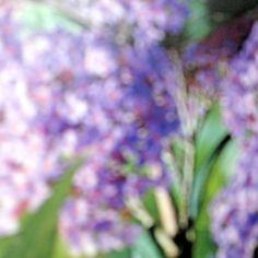 Buddleja (Davidii ) from Buddleja Davidii, Seeds, Garden, Plants, Bulbs, Lightbulbs, Garten, Lawn And Garden, Gardens