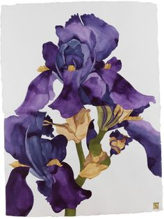 """Sarah Graham, Iris ink on paper. she writes """"the plant kingdom is a form of constant mystery and means of self-projection for me, a search for the spiritual meaning in Nature. Botanical Drawings, Botanical Prints, Watercolor Sketch, Watercolor Flowers, Sarah Graham Artist, Iris Art, Gravure, Painting & Drawing, Watercolor Painting"""