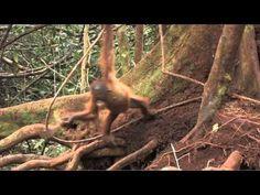 Little Luna the Orangutan Sumatran Orangutan, Baby Orangutan, Chimpanzee, Save The Orangutans, Call Of The Wild, August 20, All Nature, Save Animals, Borneo