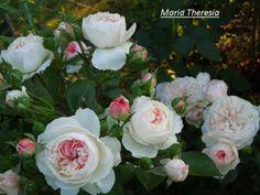 Mariatheresia