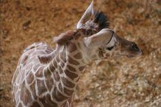 Baby Giraffes, Feathers, Babe, Fur, Animals, Animales, Animaux, Animal, Animais