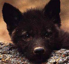 Cute black wolf cub!