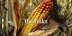 Grains in pet foods come with risks; a different set of risks than the current grain-free pet food potential risk to heart disease. Truth About Pet Food, Pet News, Chicken Feed, Healthy Pets, Pet Treats, Dog Eating, Food Industry, Cat Food