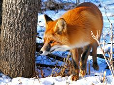 Red fox walking in the snow at the Smoky Mountains.
