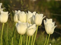 White Tulip Flowers Art Prints Spring Green Garden Balse Troutman fine Art Prints
