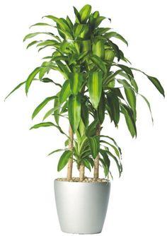 พืชไม้ดอกไม้ประดับ: ต้นไม้ริมรั้ว ที่นิยมปลูกไว้ในบ้าน Large Indoor Plants, Artificial Plants And Trees, Artificial Plant Wall, Indoor Trees, Artificial Flowers, Plantas Indoor, Corn Plant, Low Light Plants, Pot Plante