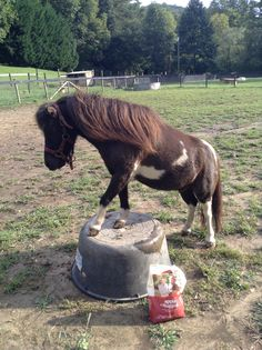 Trick training my miniature horse Western Horse Riding, Horse Riding Tips, Horse Tips, Horseback Riding Tips, Miniature Ponies, Tiny Horses, Tiny Farm, Horse Shelter, Horses