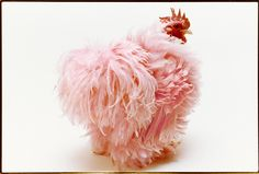 show chicken photo by robin laughlin