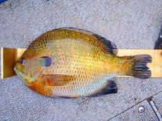 An overview of how to catch Bluegill with baits and lures.  Tips for fishing for Bluegill.