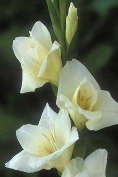 Gladioli 'Sancerre' Flowers Garden Love༺♥༻神*ŦƶȠ*神༺♥༻