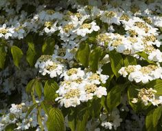 Viburnums have long been one of the most popular flowering landscape shrubs, blooming from spring to June, followed by beautiful berries and fall color. You can find a variety to suit any garden need.