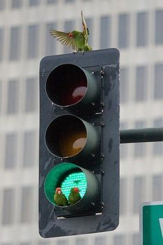 STOP!!! Wild Parrots resting in a traffic light