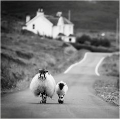 Emmy DE * Sheep Walking in the Highlands Scotland