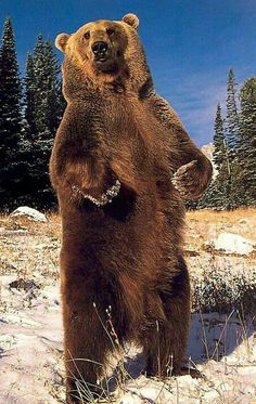 Standing Grizzly Bear!