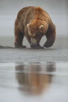 """Beneath the Surface""  Alaskan Brown Bear - (Ursus arctos) - Katmai National Park - Alaska  www.natezeman.com..."