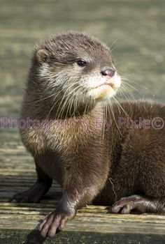 Ashley, my favorite of all otters.