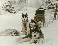 Siberians....roman wants to do this! he tells me all about it.