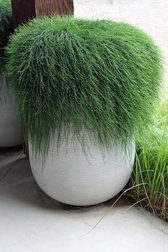 Casuarina glauca 'Cousin It' - Prostrate swamp oak White Planters, Garden Planters, Pool Landscape Design, Garden Design, Modern Landscaping, Backyard Landscaping, Outdoor Plants, Outdoor Gardens, Alocasia Plant