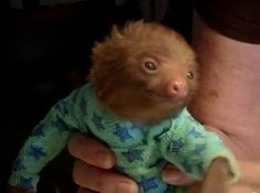 For those of you who can't live without seeing a sloth getting buttered and pajama-ed. Tiny Baby Sloth gets the Onesie Treatment - 'Meet The Sloths' Animal Planet Cute Baby Sloths, Cute Baby Animals, Funny Animals, Wild Animals, Small Animals, Zoo Animals, Dachshund, Armadillo, Cutest Thing Ever