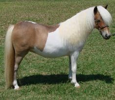 miniature horses for sale pages