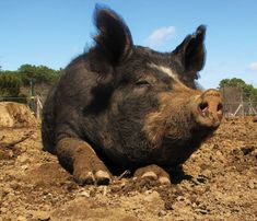 Consider a Pig - land clearing
