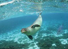 Endangered Hawaiian Monk Seal. Island Niihau.