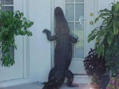 This gator house call: | 37 Things That Could Only Happen InFlorida