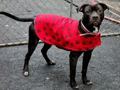 TO BE DESTROYED MON, 2/3/14- Manhattan Center    BROCOLLI - A0989521    MALE, BLACK / WHITE, PIT BULL MIX, 1 yr  STRAY - STRAY WAIT, NO HOLD Reason STRAY   Intake condition NONE Intake Date 01/14/2014, From NY 10472, DueOut Date 01/17/2014 Original thread: https://www.facebook.com/photo.php?fbid=741852899160925&set=a.617938651552351.1073741868.152876678058553&type=3&permPage=1