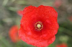 een echte rode bloem, deze klaproos