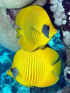 Masked Butterfly Fish (Chaetodon semilarvatus) Red Sea and Gulf of Aden Underwater Creatures, Underwater Life, Colorful Fish, Tropical Fish, Fauna Marina, Life Under The Sea, Beautiful Sea Creatures, Salt Water Fish, Water Animals