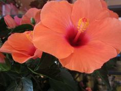 Rare Hibiscus Flower from the Philippines Hawaiian Flowers, Hibiscus Flowers, Philippines, Lotion, Aesthetics, Bloom, Packaging, Earth, Plants