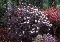Physocarpus Opulifolius 'Diabolo' syn. 'Monlo' 3