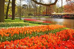 Colorful tulips in Keukenhof gardens in the Netherlands