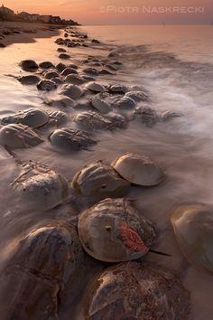 horseshoe crabs